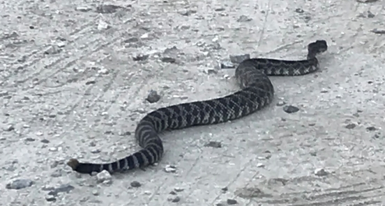 2019-07-21 19.36.01rattlesnake in focus on gravel parking lot
