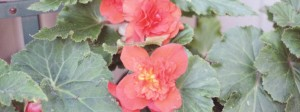 Orange Pink begonias